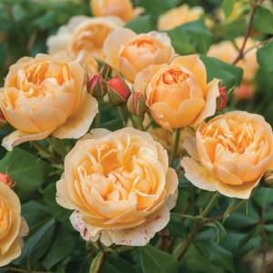 Кустовые розы (шрабы) David Austin (Дэвид Остин), Англия Roald Dahl (Роальд Даль), David Austin