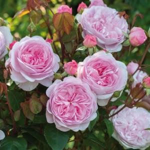 Кустовые розы (шрабы) David Austin (Дэвид Остин), Англия Olivia Rose (Оливия Роуз), David Austin