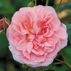 Кустовые розы (шрабы) David Austin (Дэвид Остин), Англия Strawberry Hill  (Строберри Хилл), David Austin