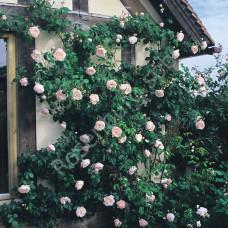 Кустовые розы (шрабы) David Austin (Дэвид Остин), Англия Generous Gardener (Дженерос Гарденер, David Austin