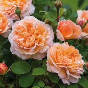Кустовые розы (шрабы) David Austin (Дэвид Остин), Англия The Lady Gardener (Зе Леди Гарденер), David Austin