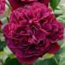 Кустовые розы (шрабы) David Austin (Дэвид Остин), Англия William Shakespeare 2000 (Вильям Шекспир 2000), David Austin