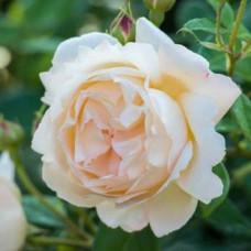 Кустовые розы (шрабы) David Austin (Дэвид Остин), Англия Wollerton Old Hall (Воллертон Олд Холл), David Austin