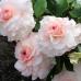 Кустовые розы (шрабы)  Kordes (Кордес), Германия Bremer Stadtmusikanten (Бремер Штадтмузикантен, Бременские музыканты), Kordes