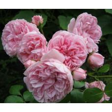 Кустовые розы (шрабы) Cinderella (Синдерелла), Kordes