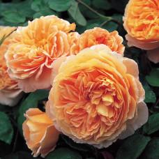Кустовые розы (шрабы) David Austin (Дэвид Остин), Англия Crown Princess Margareta (Краун Принцесса Маргарита), David Austin