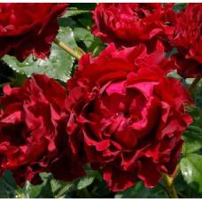 Чайно-гибридные розы Delbard (Дельбар), Франция Heinz Winkler (Hommage a Barbara) (Хайнц Винклер (Омаж а Барбара)), Delbard