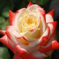 Чайно-гибридные розы Delbard (Дельбар), Франция Imperatrice Farah (Императрица Фарах), Delbard
