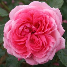 La Rose de Molinard (Ля роз де Молинар), Delbard
