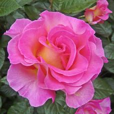 Pink Paradise (Пинк Парадайз), Delbard