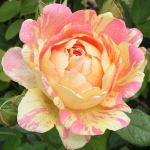 Rose des Cisterciens (Роз де Цистерсьен), Delbard