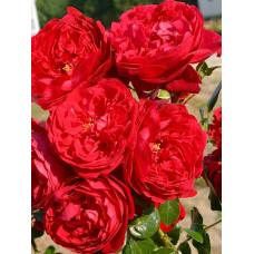 Плетистые розы  Kordes (Кордес), Германия Florentina (Флорентина), Kordes
