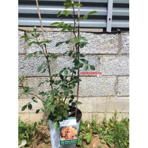 Растения для сада Леди оф Шалот, David Austin