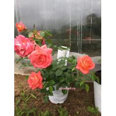 Растения для сада Зоммерзонне,флорибунда, Kordes