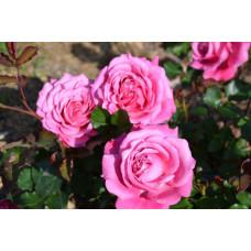 Кустовые розы (шрабы) Guillot (Гийо), Франция Agnes Schilliger (Агнес Шилигер), Guillot