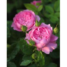 Кустовые розы (шрабы) Guillot (Гийо), Франция Chantal Merieux (Шанталь Мерье), Guillot