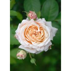 Кустовые розы (шрабы) Charles de Nervaux (Шарль де Нерво), Guillot