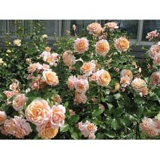 Кустовые розы (шрабы) Elizabeth Stuart (Элизабет Стюарт), Guillot