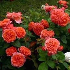 Кустовые розы (шрабы) Guillot (Гийо), Франция Emilien Guillot (Эмильен Гийо), Guillot