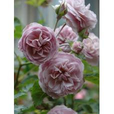Кустовые розы (шрабы) Florence Delattre (Флоранс Делатр), Guillot