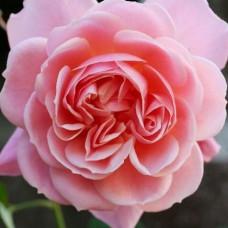 Кустовые розы (шрабы) Francis Blaise (Френсис Блэз), Guillot