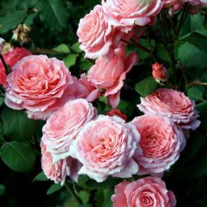 Кустовые розы (шрабы) Institut Lumiere (Институт Люмьер), Guillot