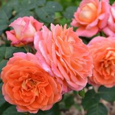 Кустовые розы (шрабы) Notre Dame du Rosaire (Нотр Дам дю Розэр), Guillot