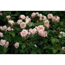 Кустовые розы (шрабы) Paul Bocuse (Поль Бокуз), Guillot