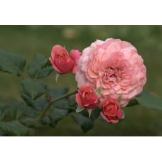 Кустовые розы (шрабы) Prix P.J. Redoute (Прикс Пи Джей Редутэ), Guillot