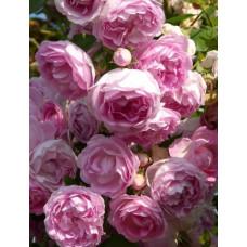 Для сада Жасмина, плетистая роза, Kordes