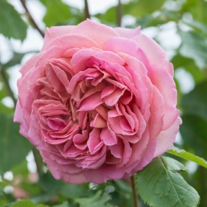 Кустовые розы (шрабы) David Austin (Дэвид Остин), Англия Jubilee Celebration (Джубиле Селебрэйшн), David Austin