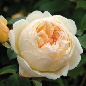 Кустовые розы (шрабы) David Austin (Дэвид Остин), Англия Jude The Obscure (Джуд зе Обскьюэр), David Austin