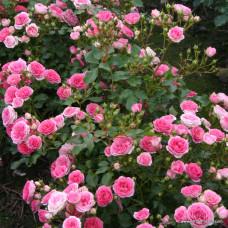 Патио, миниатюрные розы Kordes (Кордес), Германия Amica (Амика), Kordes