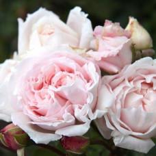 Розы флорибунда  Kordes (Кордес), Германия Constanze Mozart (Констанц Моцарт), Kordes