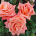 Чайно-гибридные розы  Kordes (Кордес), Германия Folklore (Фольклор), Kordes