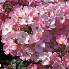 Розы флорибунда  Kordes (Кордес), Германия Fortuna (Фортуна), Kordes