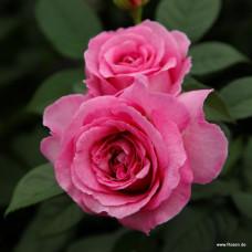 Розы флорибунда  Kordes (Кордес), Германия Fraulein Maria (Фрауляйн Мария), Kordes