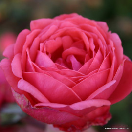 Gartenprinzessin Marie-Jose (Гартенпринцессин Мари-Жозе), Kordes