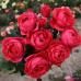 Розы флорибунда  Kordes (Кордес), Германия Gartenprinzessin Marie-Jose (Гартенпринцессин Мари-Жозе), Kordes