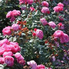 Кустовые розы (шрабы)  Kordes (Кордес), Германия Flora Colonia, Kolner Flora (Флора Колония, Кёльнер Флора), Kordes