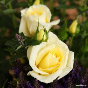 Чайно-гибридные розы  Kordes (Кордес), Германия Limona (Лимона), Kordes