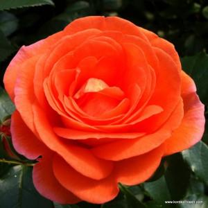 Розы флорибунда  Kordes (Кордес), Германия Mango (Манго), Kordes