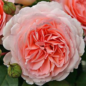 Розы флорибунда  Kordes (Кордес), Германия Marchenzauber (Мархенцаубер), Kordes
