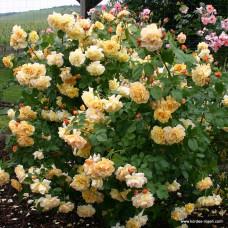 Кустовые розы (шрабы)  Kordes (Кордес), Германия Postillion (Постиллион), Kordes