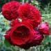 Розы флорибунда  Kordes (Кордес), Германия Rotkappchen (Роткапшен), Kordes
