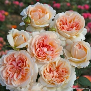 Чайно-гибридные розы  Kordes (Кордес), Германия Grossherzogin Luise (Гроссгерцогиня Луиза), Kordes