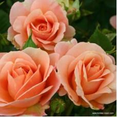 Розы флорибунда  Kordes (Кордес), Германия Impala (Импала), Kordes