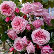 Плетистые розы  Kordes (Кордес), Германия Kiss Me Kate (Кисс Ми Кейт), Kordes