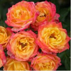 Патио, миниатюрные розы Kordes (Кордес), Германия Little Sunset (Литтл Сансет), Kordes