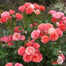 Патио, миниатюрные розы Kordes (Кордес), Германия Mandarin (Мандарин), Kordes